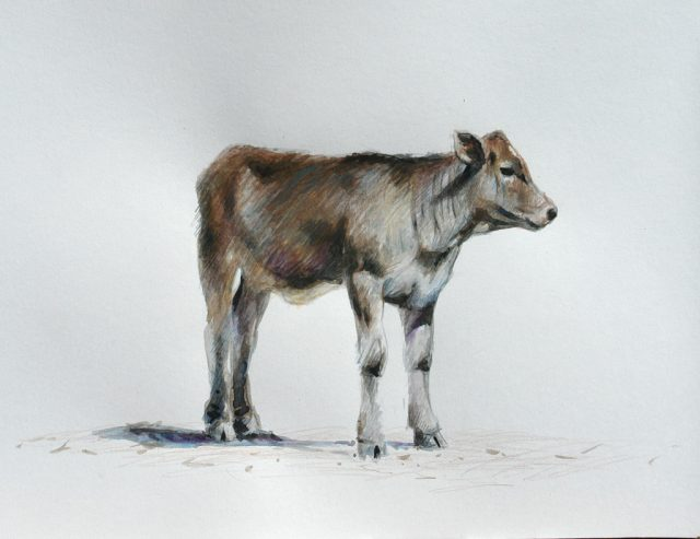 Watercolour and pencil crayon of a young bull calf - Brown Swiss