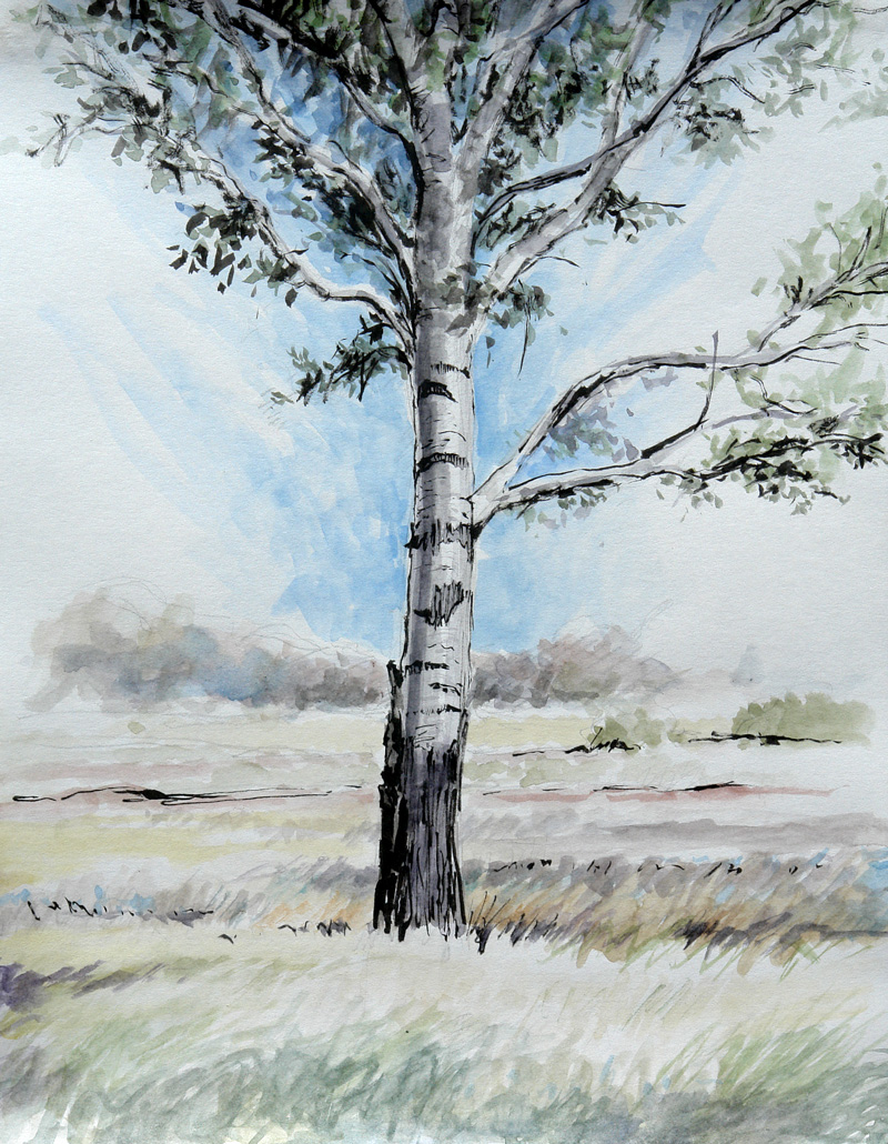 Pen and Ink with watercolour of a white or silverleaf poplar tree (Populus alba)