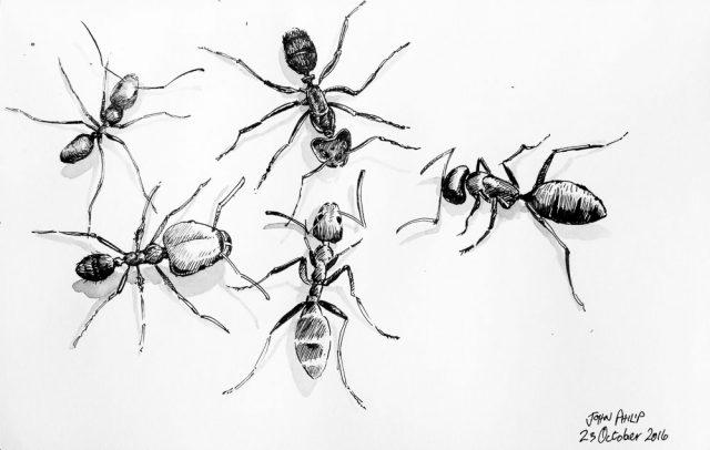 various species of ants