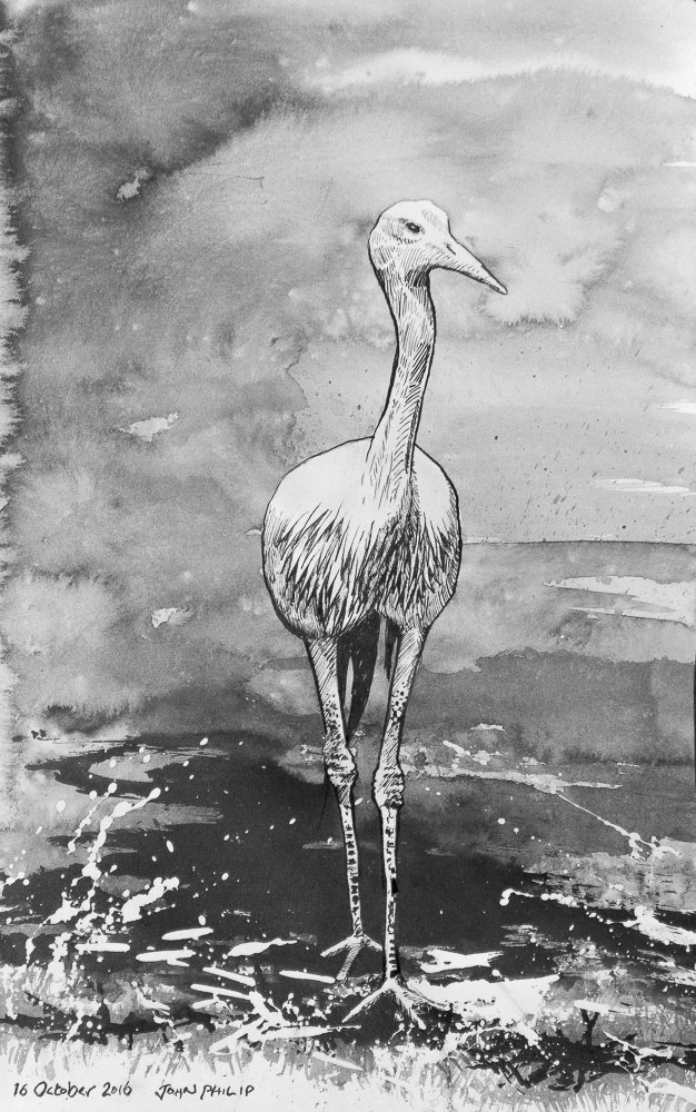 Blue Crane in Ink