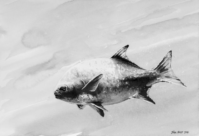 The national fish of South Africa painting with Ink