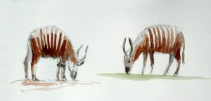 Pencil and Watercolour of some Bongos