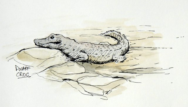 Pen and Ink with some watercolour of a Dwarf Crocodile