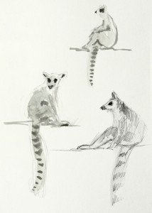 Quick sketches of some Lemurs
