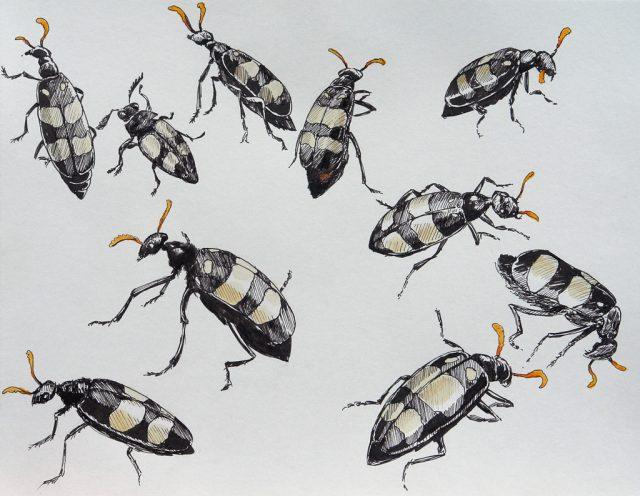 Drawings of Mylabris Oculatus - CMR or Blister Beetles
