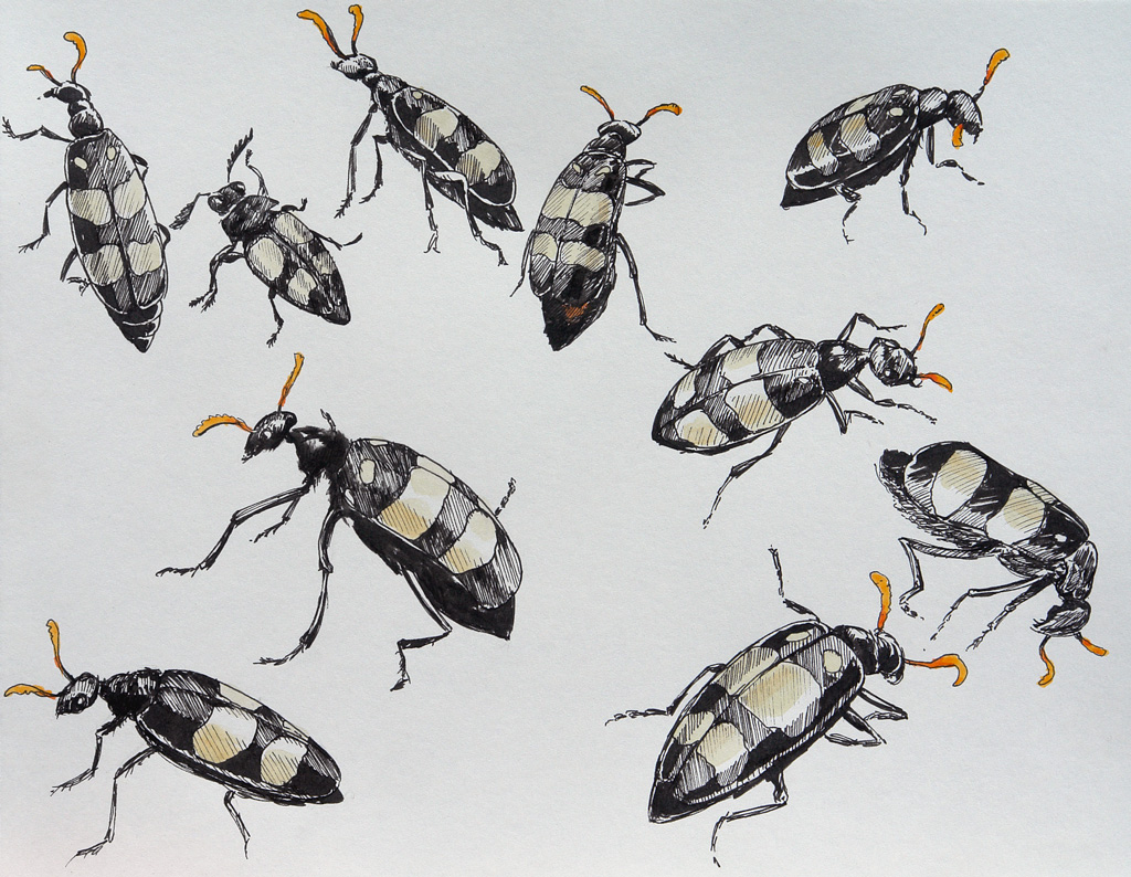 Drawings of Mylabris Oculatus - CMR or Blister Beetles