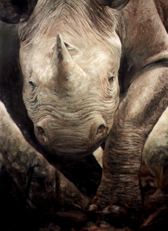 Close up of a white rhino charging at the viewer.