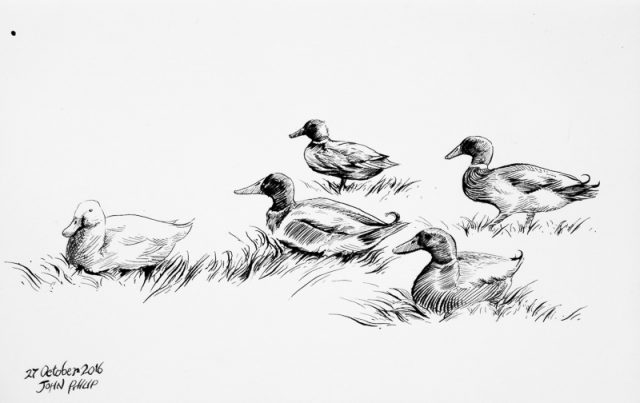 Ducks in Ink