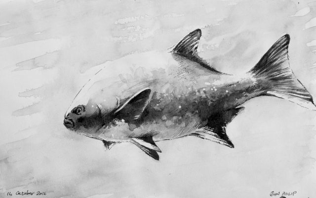 The galjoen, black bream, or blackfish