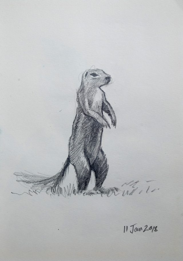 Pencil drawing of a Ground Squirrel
